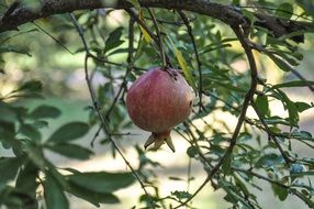 pomegranate is an exotic Mediterranean fruit