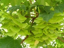 bright green fruits of maple