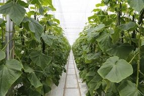 long rows of cucumbers in a greenhouse