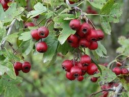 rosehip berries on a bush with green leaves