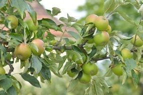 green apples on tree branches