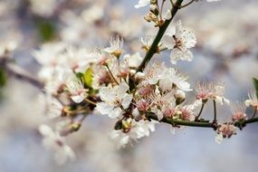 Cherry tree branch with a lot of blossoms on it
