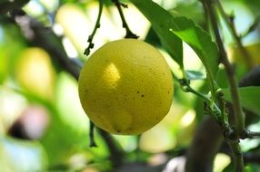 yellow Lemon on Tree in Garden