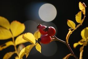 rose hips is an autumn harvest