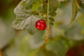 red currant berry closeup
