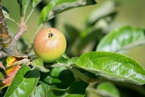 small Apple on Tree closeup