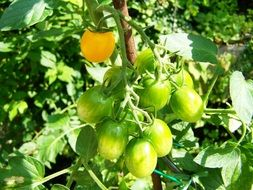 Yellow and green tomatoes on the bush