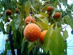 Oranges Trees