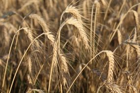 Wheat Ears Agriculture