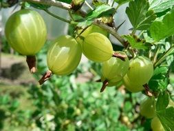 Gooseberry Fruit Bush Green