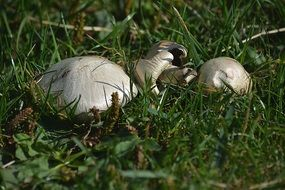 white champignons in a green meadow