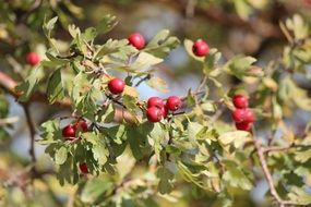hawthorn is an autumn harvest