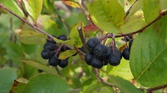 health Aronia Berries