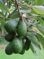 ripe green avocados on a branch