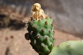 Cactus Prickly Pear bloom