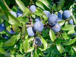 blue fruits of wild thorn