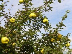 lot of ripe quince on a tree