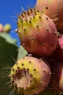 Prickly Pear Fruit Cactus close mediterranean