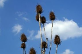 thistle flowers on a background of blue sky with white clouds