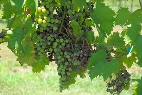 many grapes on the vine close-up