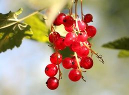 red currants on the branch