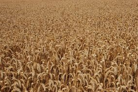 brown cereal field
