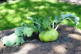 cabbage kohlrabi on the garden bed
