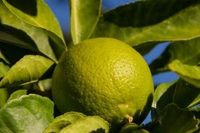 Lime Fruit Tree