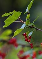 dew drops on red currant berries