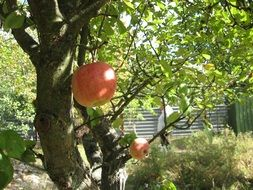 Apple Tree on Garden Dacha