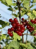 burgundy currants on a branch