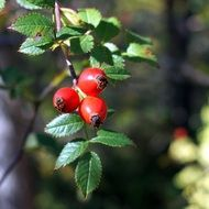 Red rosehip berries in nature