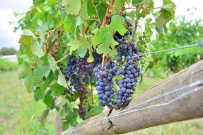 picture of the Grapes on a vineyard