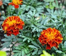 orange-red annual flowers