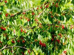 Red Cherries on tree