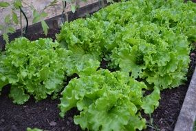 Batavia Lettuce Vegetable