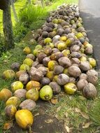 a bunch of coconuts on a tropical island