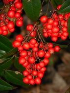 red nandina berries on a green bush
