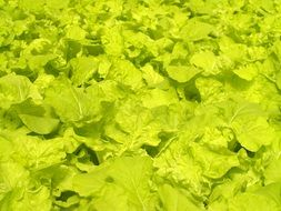 green leaves Market Hydroponic Produce