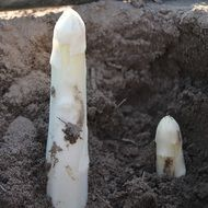 white Asparagus sprouts Harvest Vegetables