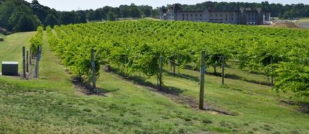 vineyards with green vine bushes