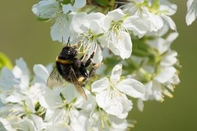 bumblebee on white flowers on a branch