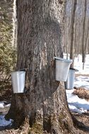 collecting of maple syrup