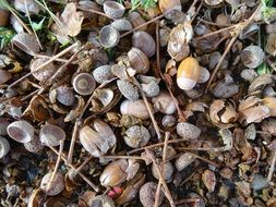 acorns are gifts of nature