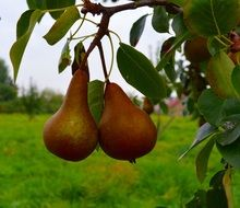 Ripe orange sweet pears on the tree