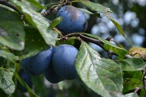 blue ripe plums on a tree close-up