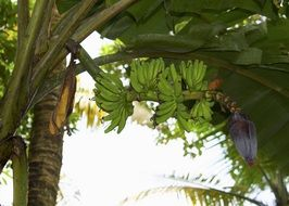 green bananas on a palm tree