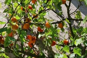 ripening fruits on the tree