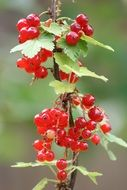 red Currants Plant