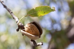 almond on the branch